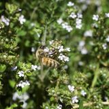 Alfazema branca suckling da abelha - quadrado imagens de stock