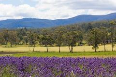 A alfazema coloca com Rolling Hills e montanhas no fundo Imagens de Stock