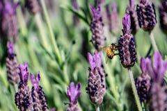 Alfazema da abelha do mel na primavera fotografia de stock