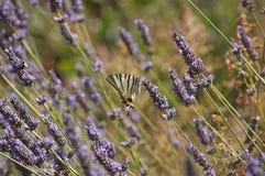 Alfazema da borboleta Fotografia de Stock Royalty Free