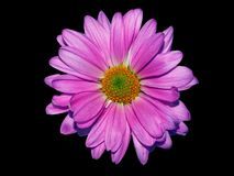 Alfazema Daisy On Black Fotografia de Stock Royalty Free