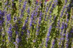 Alfazema de florescência Fotos de Stock
