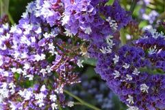 Alfazema de mar com abelha Fotos de Stock
