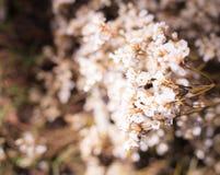 Alfazema de mar inocente branca de Airy Limonium, statice, caspia, flores dos alecrins de pântano, fundo natural do Wildflower Fl imagens de stock royalty free