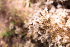 Alfazema de mar inocente branca de Airy Limonium, statice, caspia, flores dos alecrins de pântano, fundo natural do Wildflower Fl foto de stock