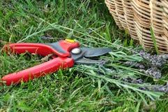 Alfazema de poda no jardim Imagem de Stock Royalty Free
