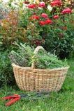 Alfazema de poda no jardim Imagens de Stock Royalty Free