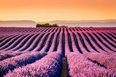 Alfazema de Valensole em Provence, Fran?a foto de stock royalty free