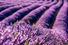 Alfazema de Valensole em Provence, Fran?a imagens de stock