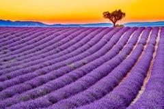 Alfazema de Valensole em Provence, Fran?a foto de stock