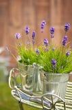 Alfazema do jardim Imagens de Stock Royalty Free