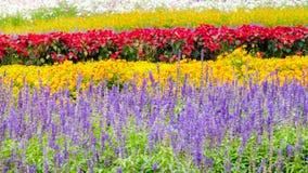 Alfazema e um outro campo de flor, fundo da mola fotografia de stock royalty free