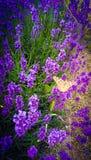 Alfazema e uma borboleta alaranjada imagem de stock royalty free