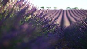 Alfazema em Provence, France video estoque