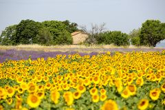 Alfazema em Provence imagens de stock