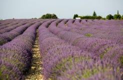 Alfazema em Provence foto de stock
