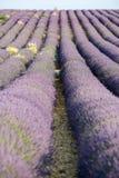 Alfazema em Provence fotografia de stock