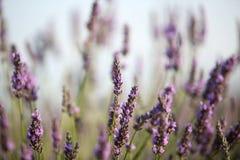 Alfazema em Provence foto de stock royalty free