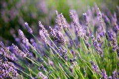 Alfazema em Provence imagem de stock