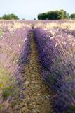Alfazema em Provence fotos de stock