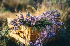 A alfazema em uma cesta de vime está em um campo da alfazema imagens de stock royalty free