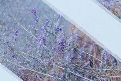Alfazema Flores roxas de floresc?ncia da alfazema e grama verde nos prados ou nos campos Modelo para o texto imagem de stock