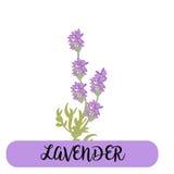 A alfazema floresce elementos botanical A coleção da alfazema floresce em um fundo branco Pacote da ilustração do vetor ilustração do vetor