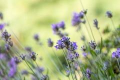 A alfazema floresce na flor no campo no macro Fotografia de Stock