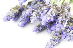 A alfazema floresce o foco inselective no fundo branco Imagens de Stock Royalty Free
