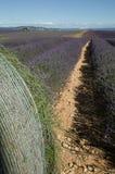 A alfazema floresce pronto para a colheita Imagens de Stock Royalty Free
