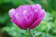 Alfazema muito bonita e rosa Tulip Blossom Flowering imagem de stock royalty free