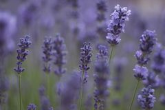 Alfazema no softfocus Fotografia de Stock