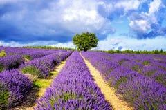 Alfazema no sul de França Fotografia de Stock Royalty Free