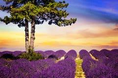 Alfazema no sul de França Fotos de Stock