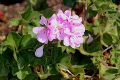 Alfazema real Ivy Leaf Geranium, ` real da alfazema do ` do peltatum do Pelargonium imagem de stock