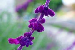 Alfazema roxa Imagens de Stock Royalty Free