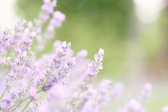 A alfazema roxa guarda um ramalhete no meio de um flo bonito Imagens de Stock Royalty Free