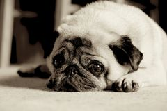 Pug. With sad expression Royalty Free Stock Photo
