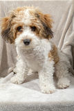 Alfie in the studio. 6 month old Cavachon pup enjoying himself in the photo studio. Posing comes naturally to him Royalty Free Stock Photo
