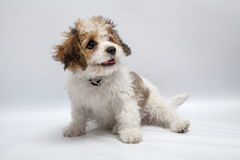 Alfie in the studio. 6 month old Cavachon pup enjoying himself in the photo studio. Posing comes naturally to him Stock Photos
