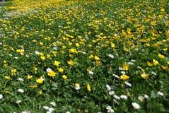 Alfombra amarilla de las flores de la primavera Foto de archivo libre de regalías