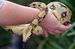 Alfombra costera Python del australiano Fotos de archivo libres de regalías