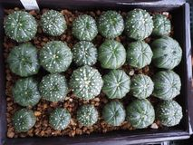 Alfombra de Astrophytum Fotos de archivo libres de regalías