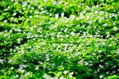 Alfombra de flores Imágenes de archivo libres de regalías