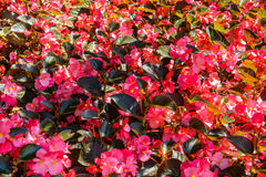Alfombra de flores rojas Foto de archivo