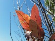alfombra de hojas secadas en árbol en el seasin del otoño en árbol con el fondo azul Imagen de archivo libre de regalías
