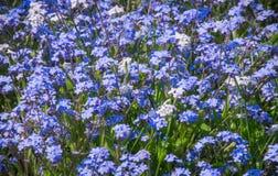 Alfombra de la flor de la nomeolvides fotos de archivo