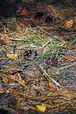 Alfombra de las agujas del bosque Foto de archivo libre de regalías