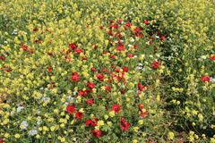 Alfombra de las flores hermosas de las flores en Israel Mount Gilboa Carmel Fotos de archivo libres de regalías