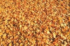 Alfombra de las hojas amarillas caidas-abajo de un tilo Fotos de archivo